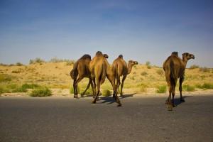 Бесхозные верблюды на дороге